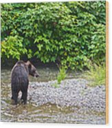 Black Bear Eating A Salmon In Fish Creek In Tongass National Forest-ak Wood Print