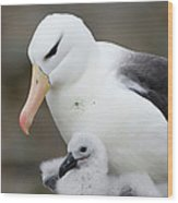 Black-browed Albatross And Chick Wood Print