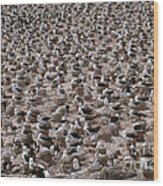 Black-browed Albatross Nesting Colony Wood Print
