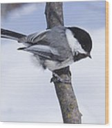 Black Capped Chickadee Wood Print by Gerald Murray Photography