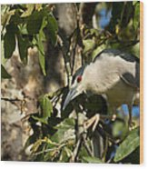 Black-crowned Heron Looking For Nesting Material Wood Print