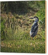 Black-crowned Night Heron At Carson Lake Wetlands Wood Print
