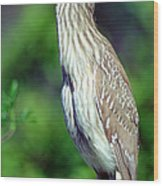 Black-crowned Night Heron Juvenile Wood Print