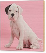 Black Eared White Boxer Puppy Wood Print by Mark Taylor