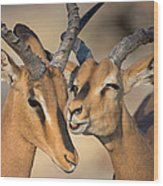 Black-faced Impalas Aepyceros Melampus Wood Print