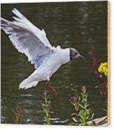 Black Head Gull - Preparing For Landing Wood Print