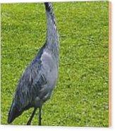 Black Headed Heron Wood Print