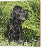 Black Labrador Dog Wood Print