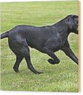 Black Labrador Playing Wood Print