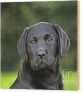 Black Labrador Puppy Wood Print