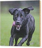 Black Labrador Running Wood Print