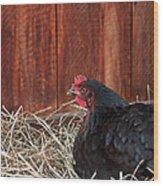Black Laying Hen On Nest Art Prints Wood Print