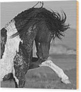 Black Pinto Stallion Strikes Out Wood Print