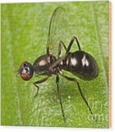 Black Scavenger Fly Wood Print