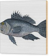 Black Sea Bass 3 Wood Print