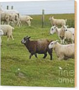 Black Sheep Wood Print