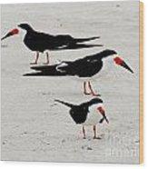 Black Skimmers  Wood Print