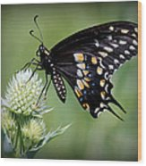 Black Swallowtail Vignette Wood Print