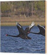 Black Swans In Flight Wood Print