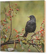 Blackbird On Branch Wood Print