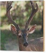 Blacktailed Buck Wood Print