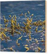 Bladder Seaweed, Fucus Vesiculosus Wood Print