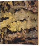 Bladder Wrack (fucus Vesiculosus) Wood Print