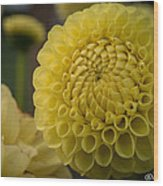 Blazing Yellow Dahlia Wood Print