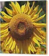 Blazing Yellow Sunflower Wood Print