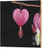 Bleeding Heart Flowers Showing Blooming Stages  Wood Print