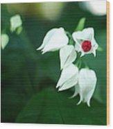Bleeding Heart Vine Blossom Wood Print