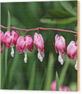 Bleeding Hearts All In A Row Wood Print