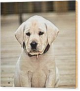 Blond Lab Pup Wood Print