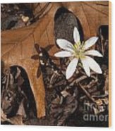 Bloodroot On Forest Floor - Pennsylvania Wood Print