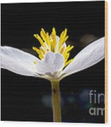 Bloodroot Wood Print by Steven Ralser