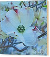Bloom White Dogwood Wood Print
