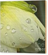 Blooming Daffodil With Raindrops Wood Print