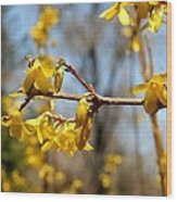 Blooming Forsythia Wood Print
