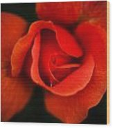 Blooming Red Rose Wood Print