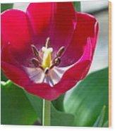 Blooming Red Tulip Wood Print