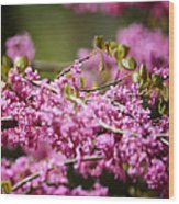 Blooming Redbud Tree Cercis Canadensis Wood Print by Rebecca Sherman