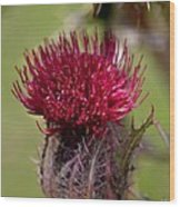 Blooming Spear Thistle Wood Print