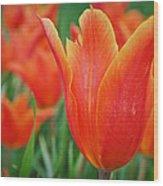 Blooming Tulips Wood Print