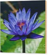 Blooming Water Lily Wood Print