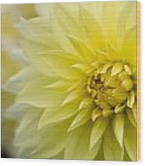 Blooming Yellow Petals Wood Print