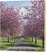 Blossom Lined Walk Wood Print