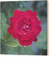 Blossoming Rose Wood Print