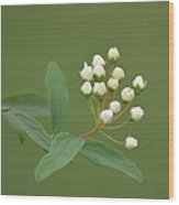 Blossoming Spirea Buds Wood Print