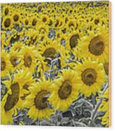 Blossoms Only Sunflowers Wood Print by Thomas Pettengill