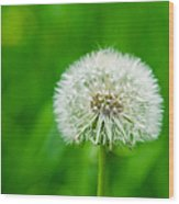 Blowball Of Dandelion - Featured 3 Wood Print